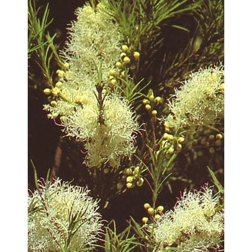 tea-tree-plant-blossom