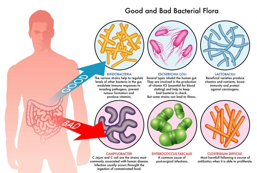 Quiz: How Do Probiotics Work