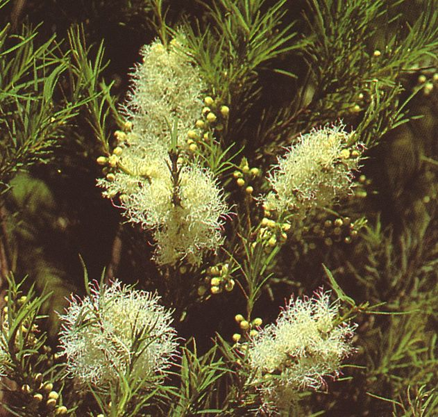 The Uses and History of Tea Tree Essential Oil