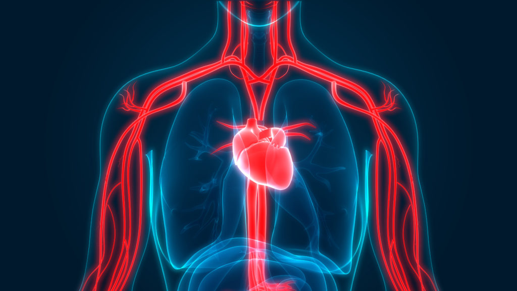 Circulatory system and blood flow